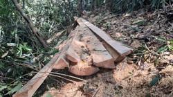 Vụ phá rừng pơ mu ở Vườn quốc gia Hoàng Liên: Cục Kiểm lâm cử đội đặc nhiệm vào cuộc