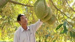 """Làm chủ kỹ thuật trồng sầu riêng chín sớm, nhiều chủ vườn """"ăn trước phần thiên hạ"""""""