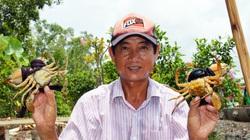 Giá cua Cà Mau bỗng nhiên vọt lên 900.000 đồng/kg, vì sao nông dân tiếc hùi hụi?