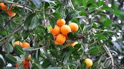 Vĩnh Long: Từ loài cây mọc hoang, thanh trà đã trở thành đặc sản cho hiệu quả kinh tế cao