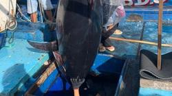 """Bình Định: Một ngư dân câu được con cá ngừ đại dương """"khủng"""", nặng bao nhiêu kg mà nói ra ai cũng bất ngờ?"""