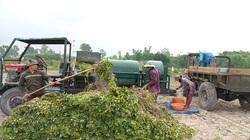 Bình Định: Trồng thứ cây gì mà quả vùi xuống đất gọi là củ, nông dân nơi này đào lên đều trúng mùa trúng giá