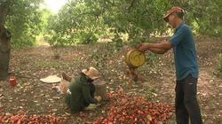 Bình Thuận: Vùng đất dân trồng thứ cây ra trái hột lộn ra ngoài treo lủng lẳng, nhặt hàng tấn, bán giá cao