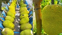 Giá mít Thái hôm nay 5/4: Để trái mít Thái cao bao nhiêu mà không cần đến bao lưới, giá mít tăng mấy giá?