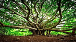 """""""Quái đa"""" đại thụ khổng lồ ít nhất 250 năm tuổi, tán cây phủ rộng cứ ngỡ là cả một khu rừng"""