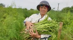Nam Định: Trồng thứ rau lạ, trời chưa sáng đã phải dậy đi cắt mầm, nông dân này kiếm tiền triệu mỗi ngày