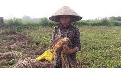 Hà Tĩnh: Cả làng này trồng tỏi, tới mùa tấp nập nhổ lên đếm củ tính tiền