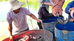"""Muốn giàu nuôi cá không còn là """"thần chú"""", giá cá giảm người nuôi lỗ thê thảm"""