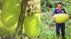 Giá mít Thái hôm nay 1/5: Nông dân chỉ cách trồng mít Thái ra bông mùa nghịch đón đợt giá tăng cao nhất trong năm