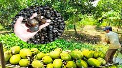Giá mít Thái hôm nay 2/5: Nông dân nuôi ốc bươu đen bên vườn mít Thái hiệu quả không ngờ, đỡ lo mít giảm giá