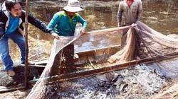 Độc đáo: Tái hiện cảnh chụp đìa bắt cá đồng hàng trăm ký tươi rói ở vườn quốc gia U Minh Hạ tỉnh Cà Mau