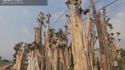 """Thủ đoạn hô biến rừng cây cổ thụ: Có thể xử lý hình sự hành vi """"bứng"""" cây cổ thụ từ rừng về nhà"""