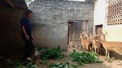 """Ninh Bình: Nông dân nuôi loài thú mỗi năm lại nhú sừng non, cắt bán là có """"lộc"""", nhà nào nuôi nhà đó khả giả"""