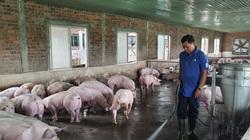Đà Nẵng: Vay 200 triệu đồng tái đàn lợn, ông nông dân lãi hơn 500 triệu đồng/năm