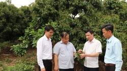 Nhận vốn ưu đãi trồng vải thiều, nông dân khấm khá