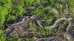 """Hòn đảo nguy hiểm nhất thế giới cứ 1m2 có 5 con rắn độc là """"nhà"""" của loài rắn độc nhất thế giới nào?"""