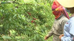 Nỗi buồn nông dân Sơn La: Mận tam hoa được mùa mất giá