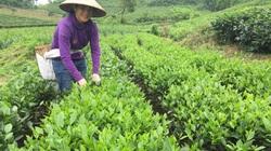Thái Nguyên: Trồng chè VietGAP có thương hiệu, nông dân thu nhập cao