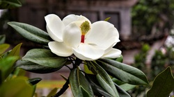Hiếm có Việt Nam: Loài hoa sen đất tuyệt đẹp trong ngôi chùa cổ 600 năm tuổi ở Hà Nội