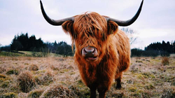 """Loài bò lạ, có bộ tóc dài lượt thượt che kín mắt """"không nhìn thấy Tổ quốc ở đâu"""", thịt ngon, mềm, mọng nước"""