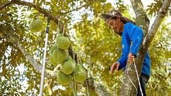 Lâm Đồng làm việc này để bảo vệ danh tiếng sầu riêng Đạ Huoai ở thị trường Trung Quốc