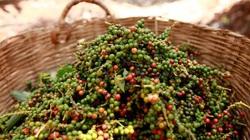 Giá nông sản hôm nay 17/5: IPC dự báo gì về thị trường hồ tiêu Việt Nam và toàn cầu 2021?