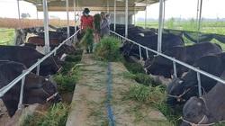 Quảng Nam: Một doanh nghiệp đầu tư 760 tỷ vào chăn nuôi gia súc công nghệ cao