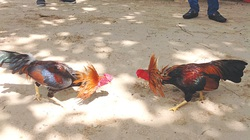 Đà Nẵng: Đá gà trong dịch Covid-19, 15 người bị đề nghị xử phạt 225 triệu đồng