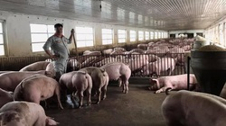 Bộ NNPTNT: Cả nước còn 390 ổ dịch tả lợn châu Phi, đàn lợn vẫn tăng 11,6%