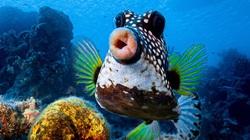 Hình ảnh chú cá chu môi rất hài hước và gây ấn tượng mạnh với khán giả thế giới