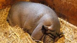 Vỗ béo lợn to cỡ bò, gấu Bắc Cực vì hám lợi, nông dân Trung Quốc lĩnh trái đắng