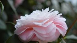 Loài hoa hiếm nhất thế giới từng xuất hiện cách đây 200 năm