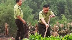 Hạt Kiểm lâm Mai Châu: Trồng rừng bằng giống nuôi cấy mô - hướng đi mới cho phát triển kinh tế rừng