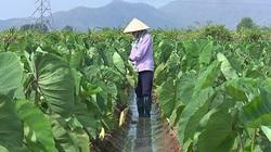 """Bình Thuận: Trồng luân canh thứ cây ra quả gọi là củ với giống khoai môn tốt um, cứ 1 sào """"ăn chắc"""" 25 triệu"""