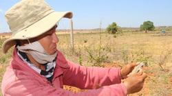 Bình Thuận: Nắng chang chang thang lang trên đồng cát nóng săn con dông đang thèm cỏ non, bắt được không bán ra ngoài