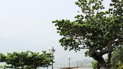 Huyện đảo nào có nhiều cây bàng cổ thụ di sản nhất cả nước?
