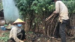 """Gia Lai: Mới mưa có 1-2 trận, nông dân đã vội đem hom mì ra trồng, kết quả nhiều hộ """"mất tiền oan"""""""