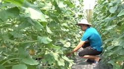 Tuyên Quang: Anh nông dân trồng dưa lưới áp dụng công nghệ cao, thu hoạch đến đến đâu, bán hết đến đấy