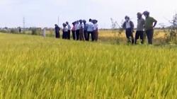 Thừa Thiên Huế: Hiệu quả kinh tế từ mô hình thâm canh giống lúa mới DT100, thị trường ưa chuộng đón nhận
