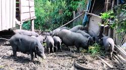 Bình Định: Dân nuôi thứ heo gì mà chỉ cần nói tên là nhiều người đã đòi mua?