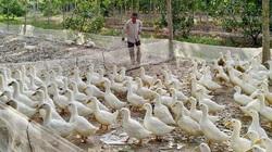 Giá gia cầm hôm nay 9/5: Giá vịt thịt miền Nam cao nhất cả nước, gà công nghiệp bán chậm
