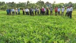 Quảng Trị: Nông dân Vĩnh Linh chuyển đổi cây trồng thích ứng với khô hạn, cho hiệu quả kinh tế cao