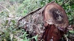 Hà Giang: Rừng nghiến cổ thụ ở Vườn Quốc gia Du Già bị tàn phá với quy mô chưa từng có