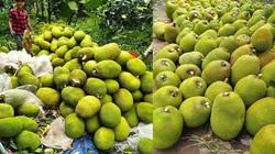 Giá mít Thái hôm nay 15/6: Vì sao nông dân phải cố giữ vườn mít dù giá mít rẻ như bèo?