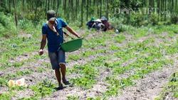 Giá loại nông sản này tăng cao, chưa có giống khoai mì sạch bệnh, nông dân vẫn hồ hởi vào vụ mới