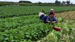 """Bí quyết """"vàng"""" của HTX rau sạch bán hơn 36.000 tấn rau/năm, còn đem rau đi Đài Loan, Hàn Quốc"""