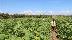 Trà Vinh: Nông dân trồng những thứ rau, quả gì mà ruộng đẹp thu nhập lại cao bất ngờ?