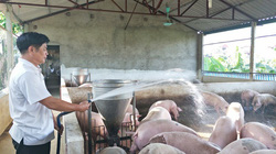 Giá lợn hơi miền Bắc tiếp tục giảm sâu, chuyên gia dự báo khi nào thị trường heo hơi phục hồi?