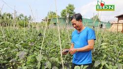 Trồng cà tím Nhật Bản, nông dân Đắk Nông bán cho ai mà hái cả trăm tấn trái vẫn không lo dội chợ?