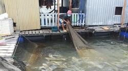 """Nuôi cá lồng, nuôi hàu quá lứa, bán không được, nông dân Bà Rịa-Vũng Tàu lâm cảnh """"tiến thoái lưỡng nan"""""""